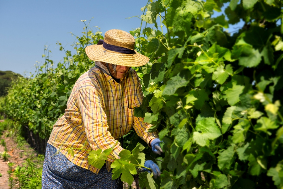 Pruning the Vineyard in Muda
