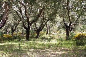 Cork Trees in Muda Comporta
