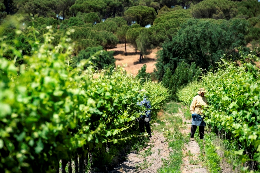 Vineyard Comporta