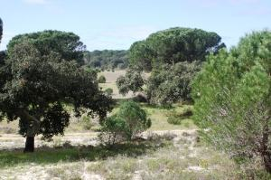 Pine Trees in Muda Comporta