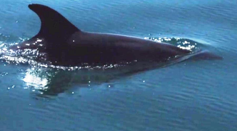 Bottlenose Dolphin Sado Estuary